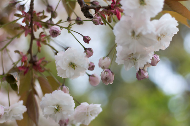 Tealeaves x UBC Botanical Garden - A Curated Sakura Experience in the Garden