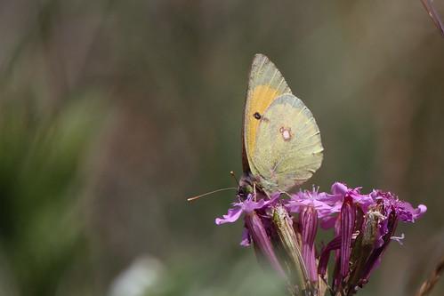 gheorgheni romania butterfly lepidoptera fjäril danubecloudedyellow coliasmyrmidone donauhöfjäril july16 2014