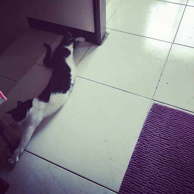 20180531 每次去頂樓曬衣間曬完衣服下樓 都會在這個樓梯轉角 遇到土匪 擋死死 不給過 #戴家黑糖蜜 #cats #livingwithcats #我不是鄉民我有50公分
