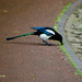 Hungry magpie stooping, West Park