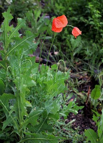 Papaver dubium subsp. dubium - pavot douteux 42517954161_834f002131