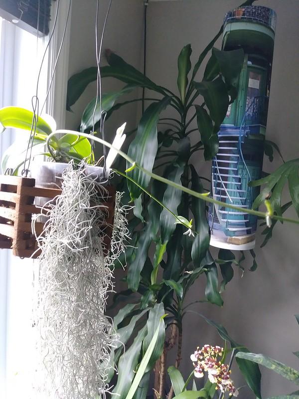 Orchidées chez lavandula - Page 12 42582077291_0d1c4670bc_c