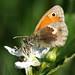 Small Heath      P6063673sm
