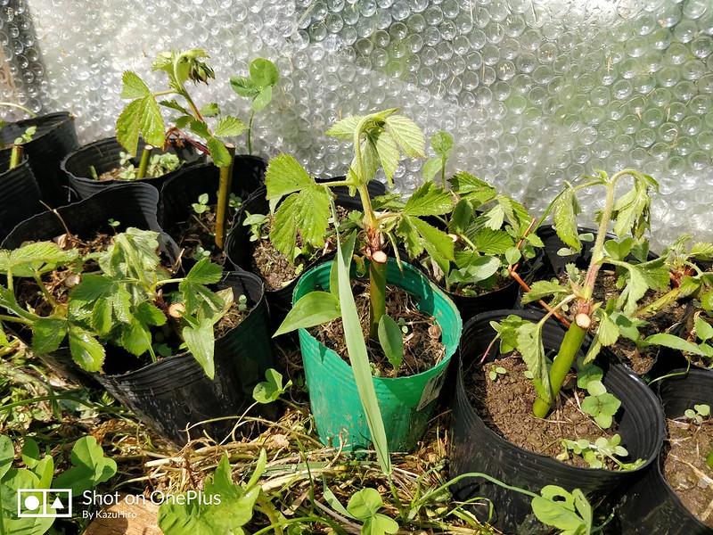 ブラックベリーの苗を作る (13)