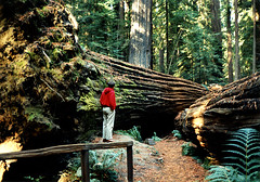 photo - Dyerville Giant, Humboldt Redwoods State Park