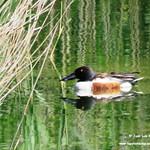 Aves en las lagunas de La Guardia (Toledo). 10-06-2018