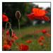 - The Red Poppy