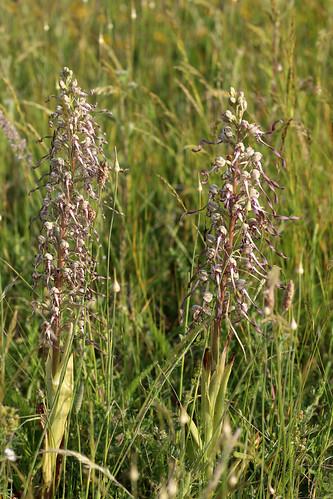 Lizard Orchid Himantoglossum hircinum
