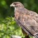 'Khan' the Red-tailed cross Harris's hawk