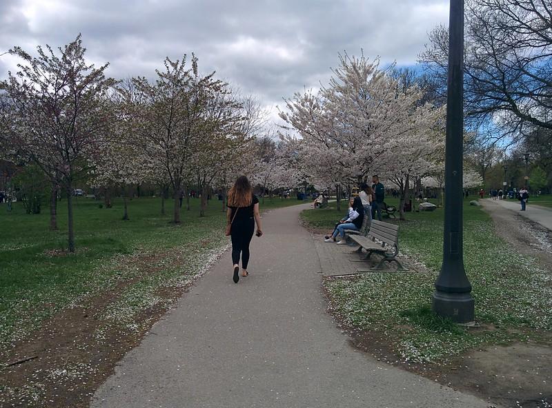 Sakura of Trinity Bellwoods (8) #toronto #trinitybellwoods #parks #sakura #cherryblossom #latergram
