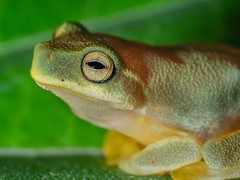 cross polarised frogs