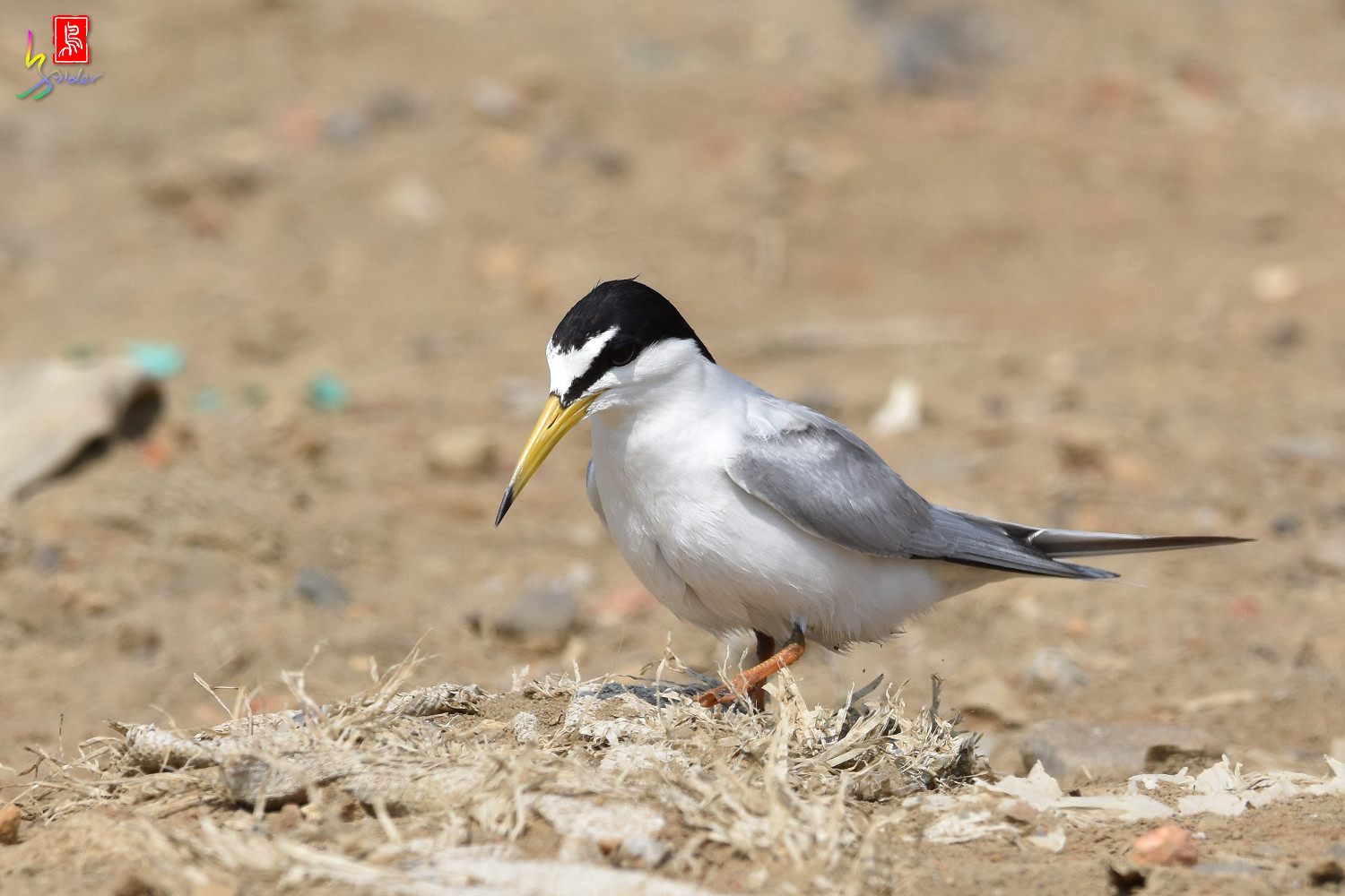 Little_Tern_0085
