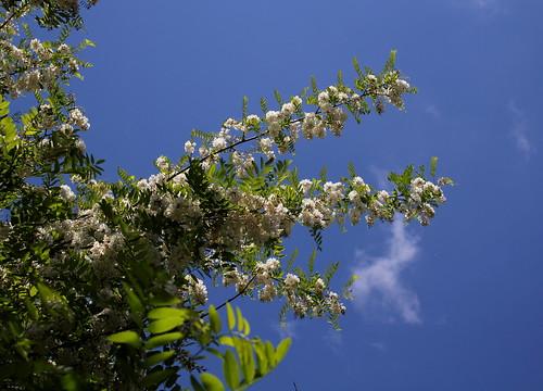 Robinia pseudoacacia - robinier faux acacia  27942629187_90a7c1561b