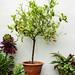 Calamondin Orange tree plant