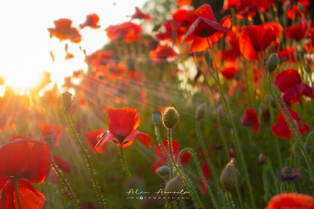 Poppys in the sunlight ☀️