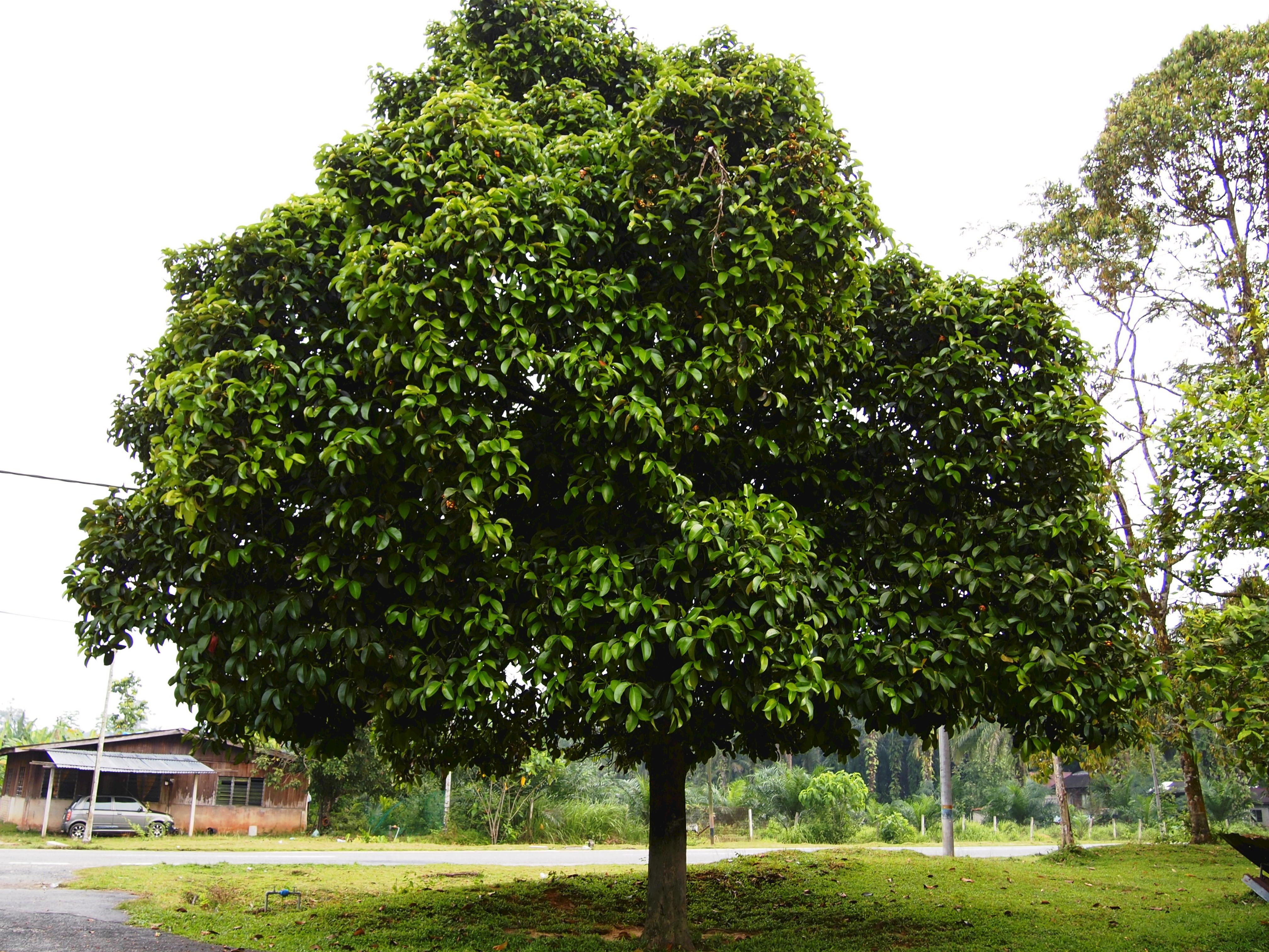 Mangosteen tree. Photo taken on September 24, 2011.
