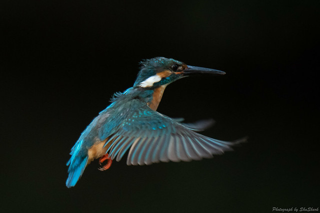 20180602-kingfisher-DSC_4117