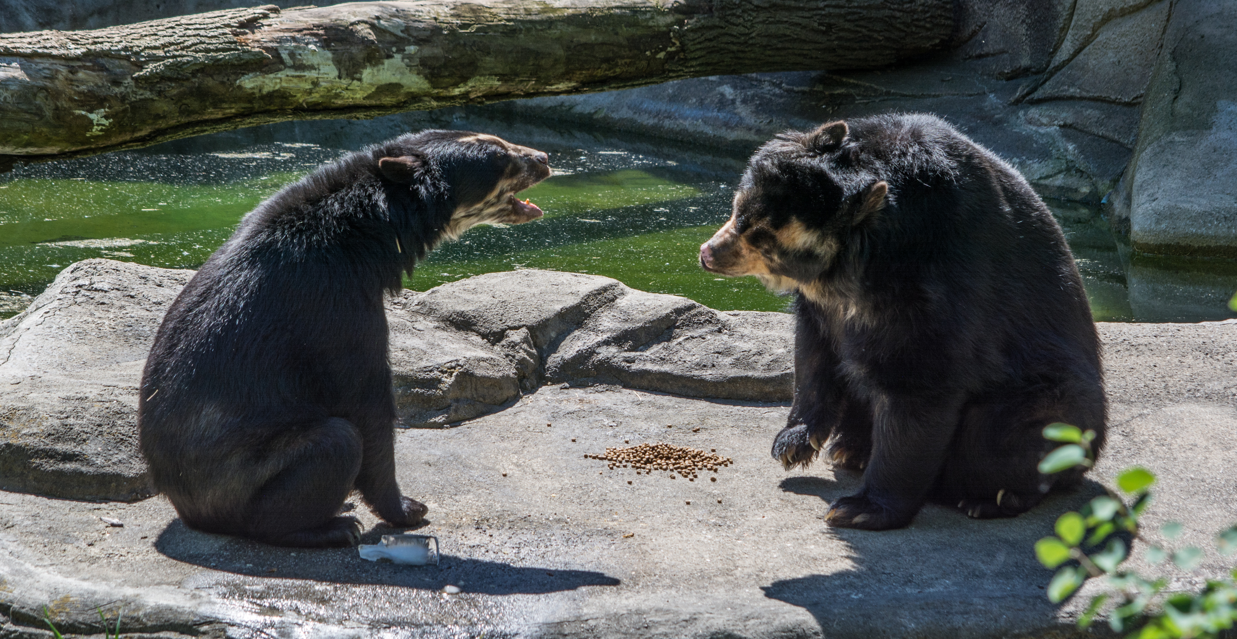 andean bear yeowling - Cleveland Zoo