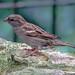 House Sparrow (female) - Passer domesticus