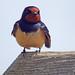Swallow Minsmere 23-4-18