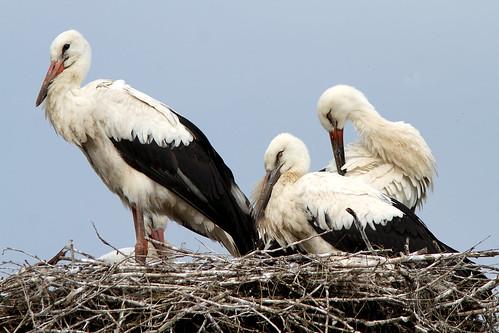 whitestork stork vitstork ciconiaciconia borzont romania bird wildlife