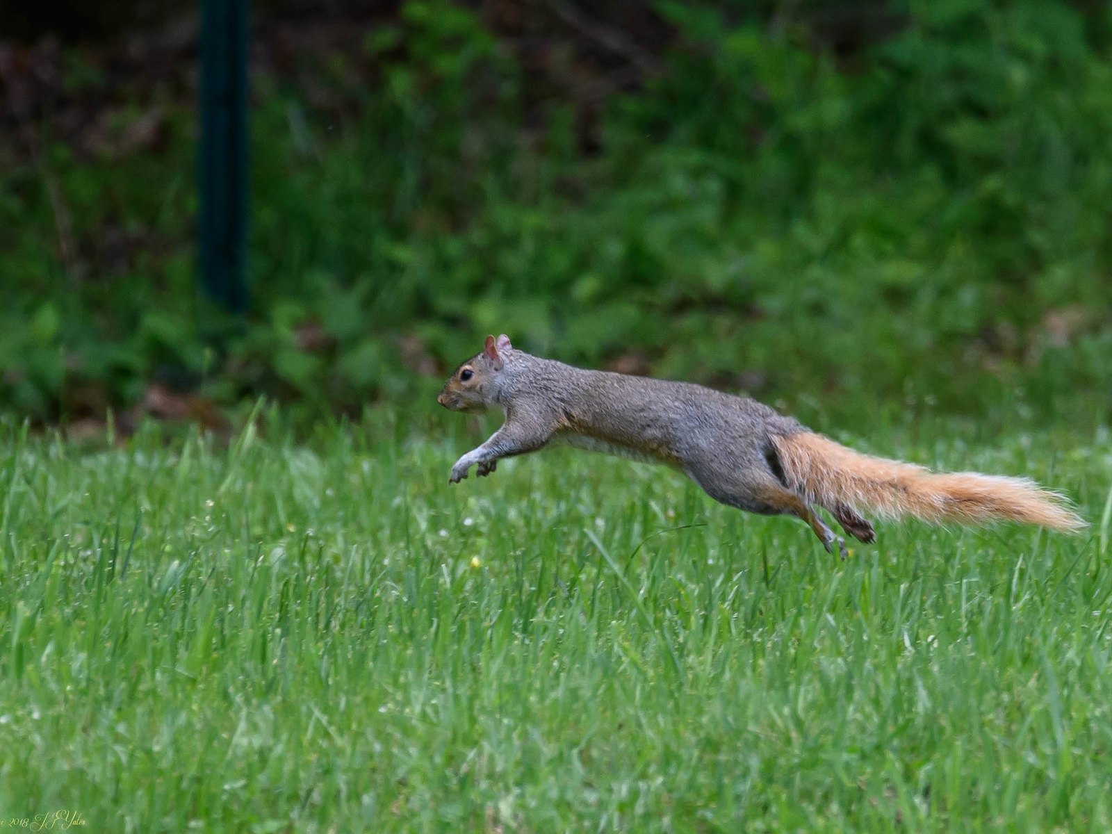 Gray Squirrel with red tail