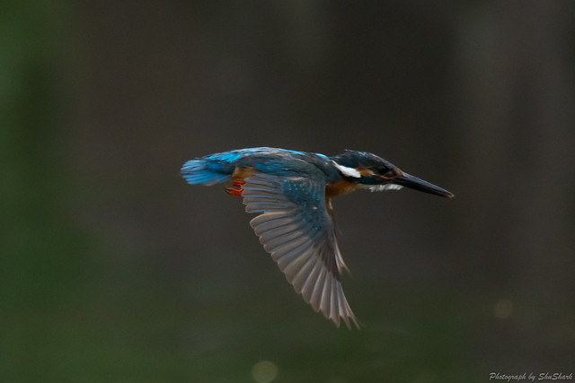 20180602-kingfisher-DSC_3258