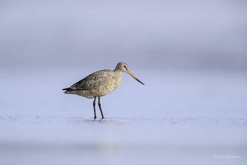 The light side of Tofino - Marbled Godwit