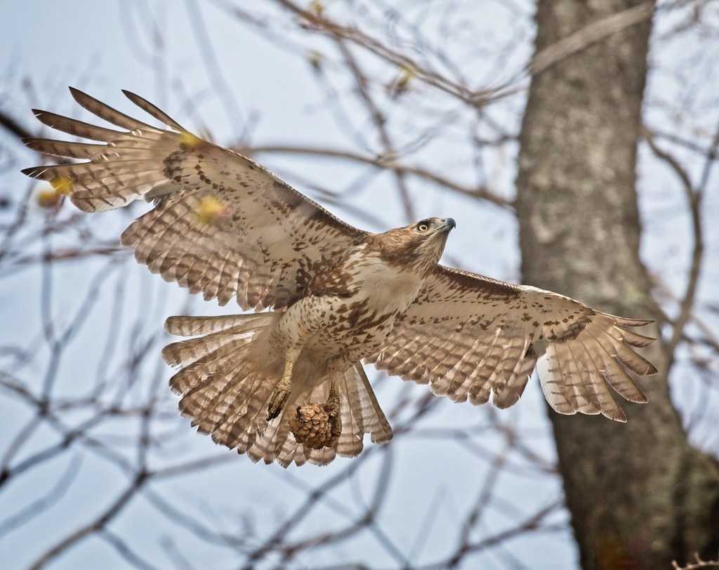 Hawk with a pine  cone