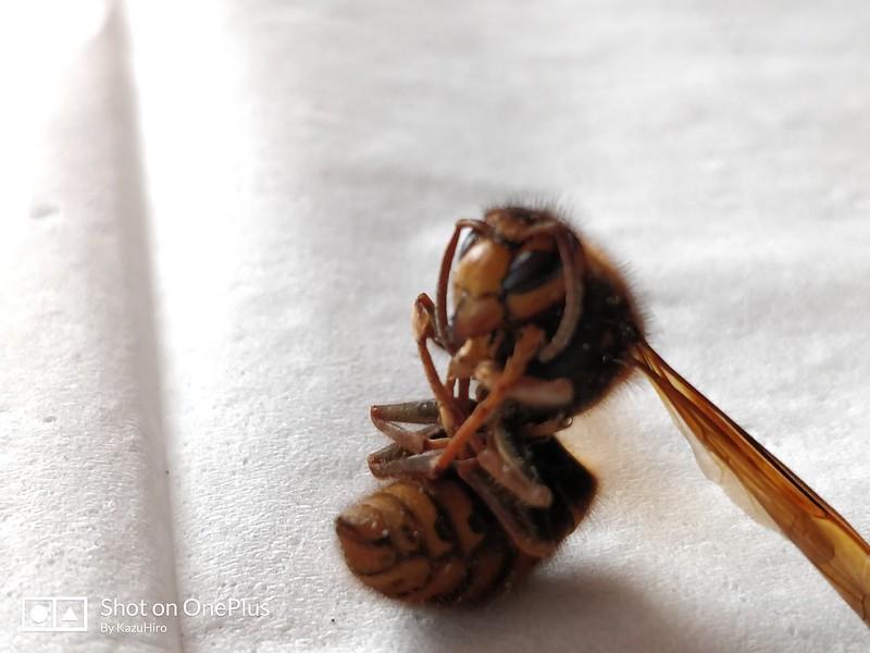 スズメバチ (3)
