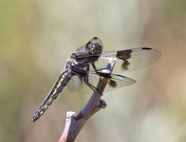 Eight-spotted Skimmer, Coldwater Canyon, Olympus E-M5, Lumix G Vario 100-300mm F4.0-5.6 Mega OIS
