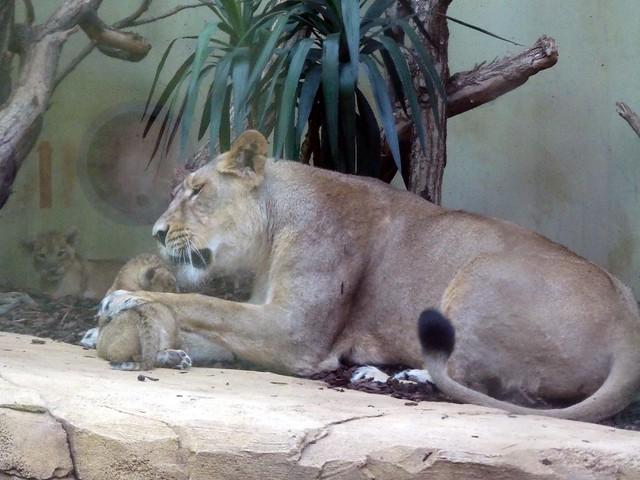 Löwe, Zoo Frankfurt