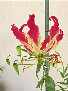 Flame lily, another view