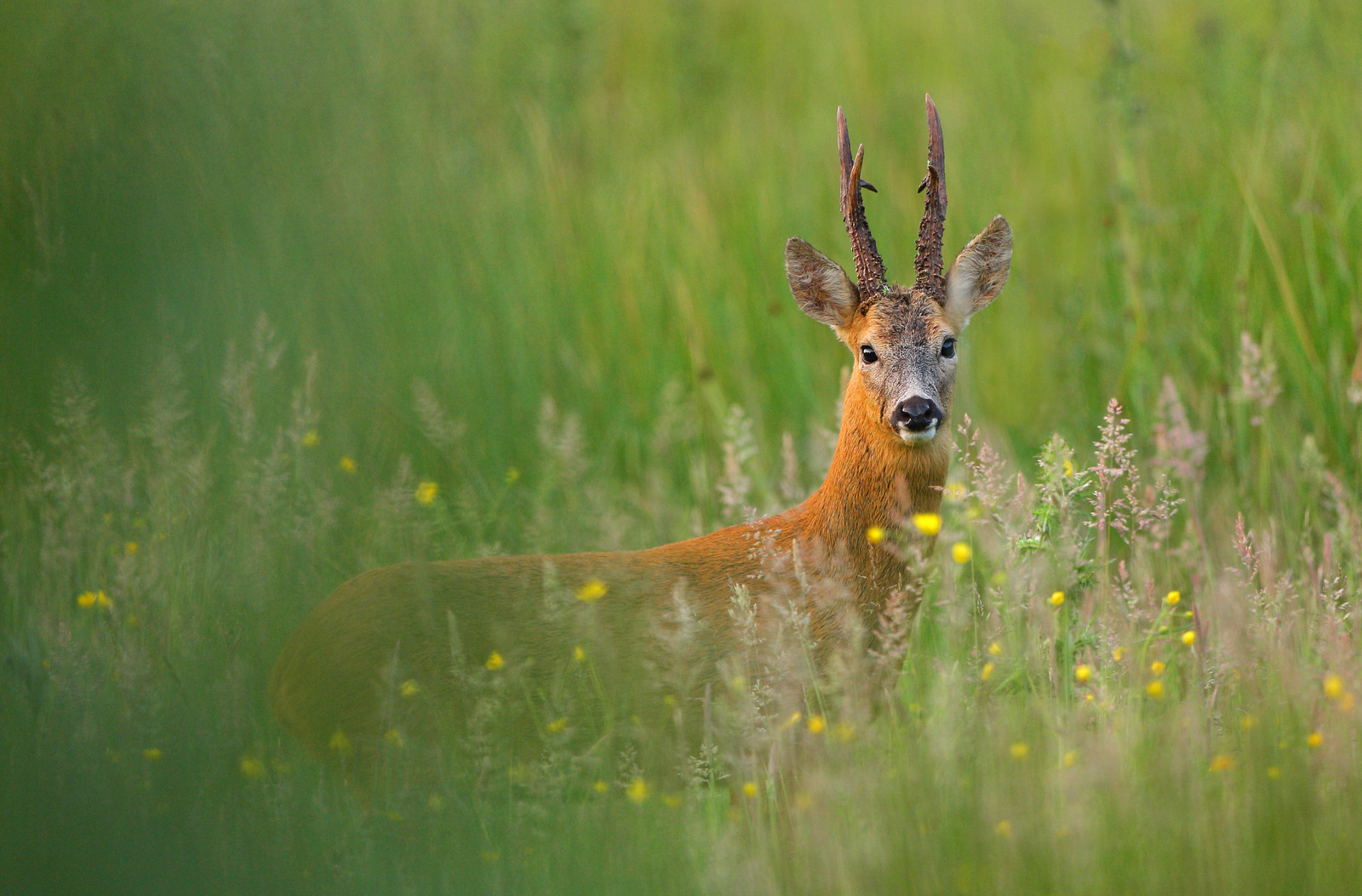Alpha Male Roe Buck