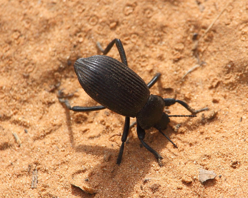 IMG_5666 Darkling Beetle, Zion National Park
