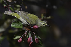 Image by Sylvain Prince (sylvain_prince) and image name Paruline obscure / Tennessee warbler photo  about Résidence / Backyard  Je suis moins actif sur Flickr en ce moment, mais c'est temporaire...  Je n'ai pas pu identifier cette oiseau. Il se tenait avec les parulines à tête cendrée ----------------------------------------- I'm less active on Flickr at the moment, but it's temporary ...  I could not i