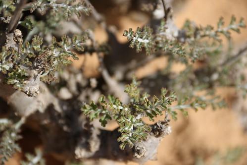 Pelargonium sp., most likely P. carnosum subsp. ferulaceum.