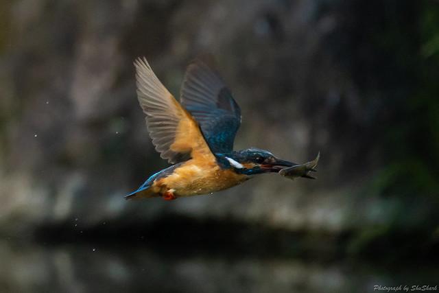20180602-kingfisher-DSC_4137