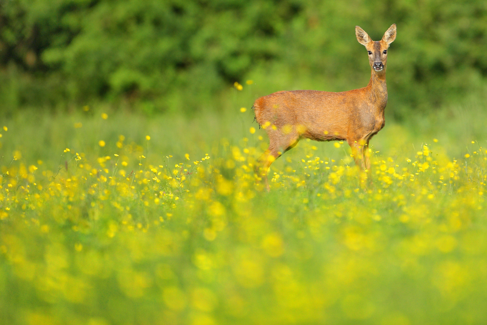 Exotic Looking Roe Deer