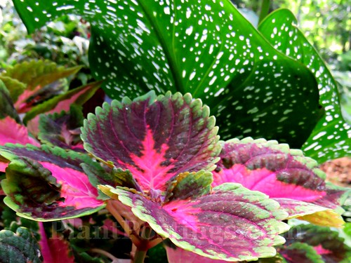 coleus and calla