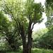 Wild Service Tree - Hampstead Heath