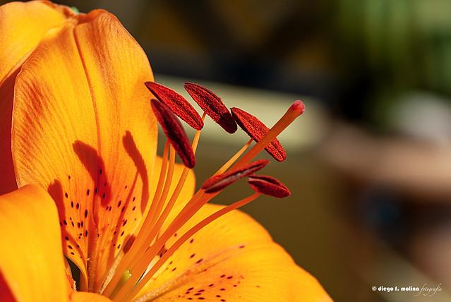 Mi primer macro (Lilium)