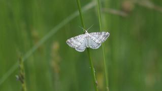 Grass Rivulet