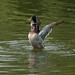 Duck flapping wings  4