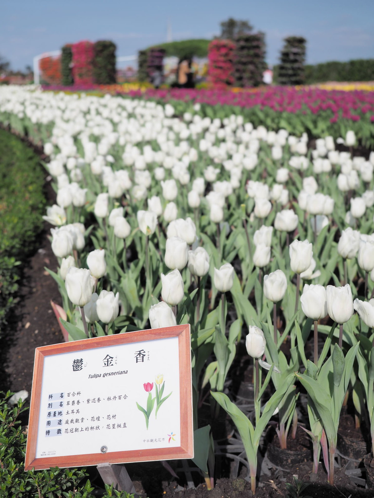 White tulip flowers at Chungshe Flower Garden (中社觀光花市)