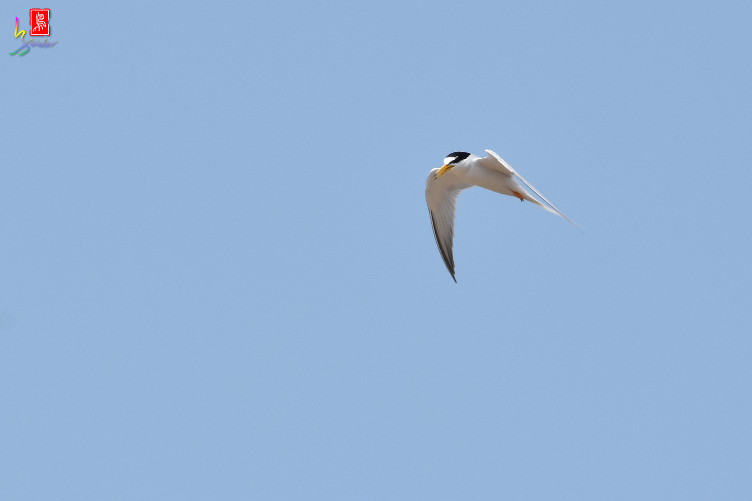 Little_Tern_9955