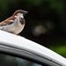 Bird Sitting on Car by _Chag