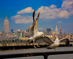 I'm in Love with a Jersey Gull #seagulls #gulls #herringgulls #herringgullsofinstagram #hoboken #newjersey #shore #empirestatebuilding #newyorkcity #theviewfromnewjersey #birdsofinstagram #birds #pixielatedpixels #chrislorddotnyc #chrislord #creativeimage