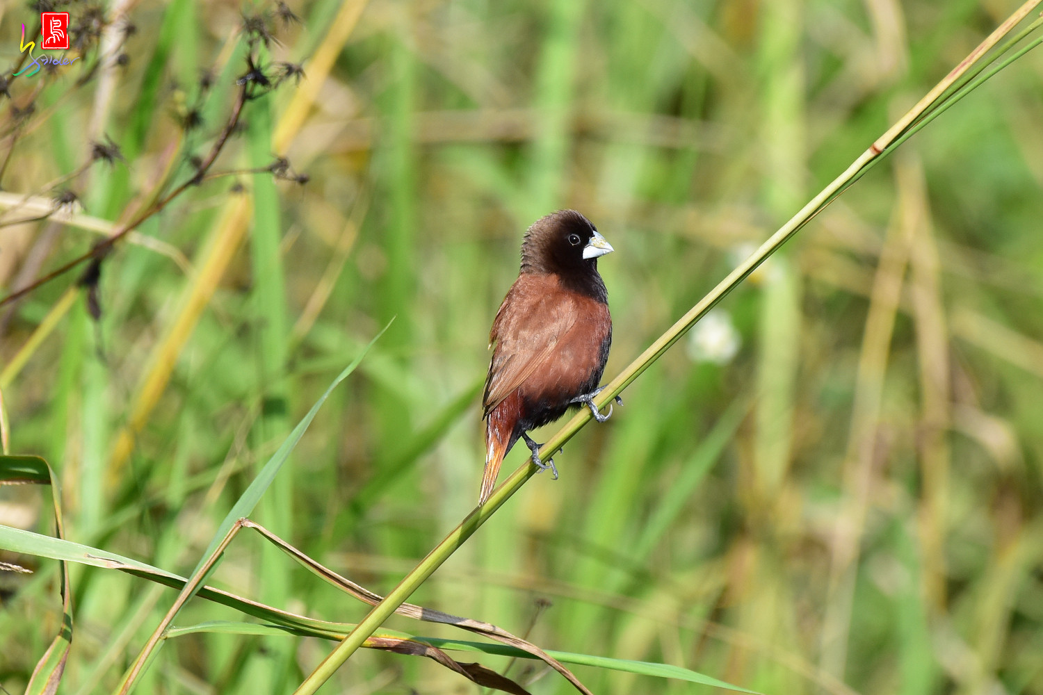 Chestnut_Munia_3823
