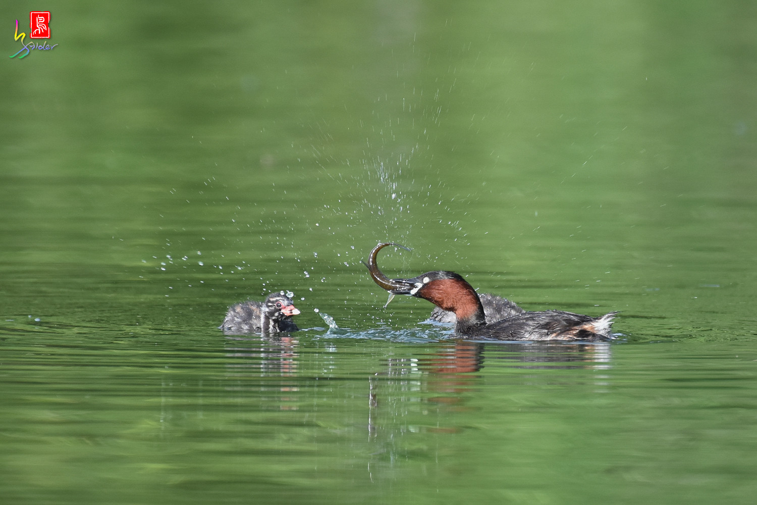 Little_Grebe_4086